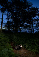 badger at dusk