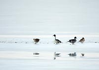 pintail on ice