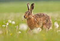 hare smoking dandelion
