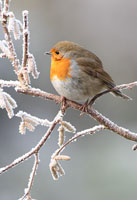 robin in frost